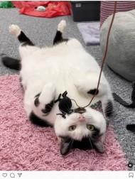 【海外発!Breaking News】盗み食いする10キロ超の肥満猫、飼い主は冷蔵庫に鍵をつける羽目に(英)<動画あり>