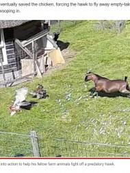 【海外発!Breaking News】仲間の危機に一目散に駆け付ける農場の動物たちの強い絆 鷹に襲われた鶏を見事に救う(オランダ)<動画あり>