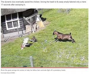 【海外発!Breaking News】仲間の危機に一目散に駆け付ける農場の動物たちの強い絆 鷹に襲われた鶏を見事に救う(オランダ)