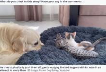 2匹の子ネコから自分のベッドを取り戻そうとするゴールデン・レトリバーが超キュート(スペイン)<動画あり>