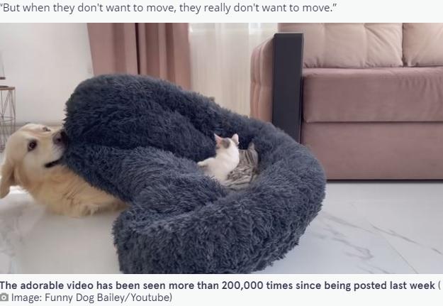 ベッドの端をくわえて子ネコを振り落とそうとするベイリー(画像は『The Mirror 2021年9月9日付「Defiant kittens refuse to budge off golden retriever's bed despite his desperate attempts」(Image: Funny Dog Bailey/Youtube)』のスクリーンショット)