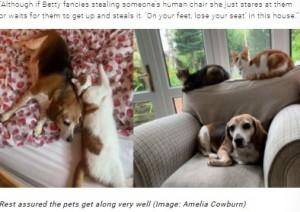 ネコ2匹とは仲良くやっているというベティ(画像は『TeamDogs 2021年9月8日付「Beagle squeezes into cat's bed after her own is taken over」(Image: Amelia Cowburn)』のスクリーンショット)