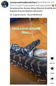 スネークキャッチャーに促されて毛布を吐き出した(画像は『Stuart McKenzie 2021年8月11日付TikTok「This is crazy!!! Carpet python eats dog blanket」』のスクリーンショット)