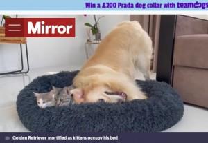 空いているスペースに体を入れるベイリー(画像は『The Mirror 2021年9月9日付「Defiant kittens refuse to budge off golden retriever's bed despite his desperate attempts」(Image: Funny Dog Bailey/Youtube)』のスクリーンショット)