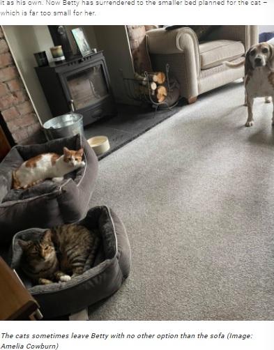 両方のベッドをネコに占領されたベティ(画像は『TeamDogs 2021年9月8日付「Beagle squeezes into cat's bed after her own is taken over」(Image: Amelia Cowburn)』のスクリーンショット)