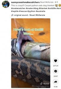 自分の体の太さ以上に大きな口を開いたヘビ(画像は『Stuart McKenzie 2021年8月11日付TikTok「This is crazy!!! Carpet python eats dog blanket」』のスクリーンショット)