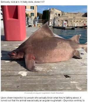 【海外発!Breaking News】まるでブタの鼻? 珍しいサメの姿に驚きの声「別れた前妻にそっくり」などのジョークも(伊)