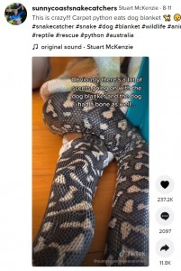体内に毛布を詰め込むようにして飲み込んでいる(画像は『Stuart McKenzie 2021年8月11日付TikTok「This is crazy!!! Carpet python eats dog blanket」』のスクリーンショット)