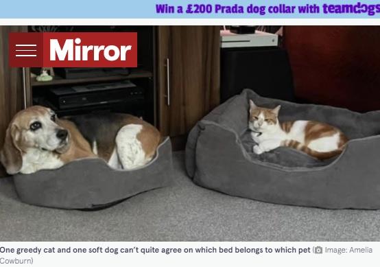 犬用ベッドに寝るネコと、ネコ用ベッドで我慢する犬(画像は『The Mirror 2021年9月8日付「Kind-hearted Beagle forced to squeeze into tiny bed by greedy cat」(Image: Amelia Cowburn)』のスクリーンショット)