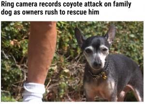 現在は回復して元気に過ごしているチコ(画像は『WFLA 2021年10月9日付「Ring camera records coyote attack on family dog as owners rush to rescue him」』のスクリーンショット)