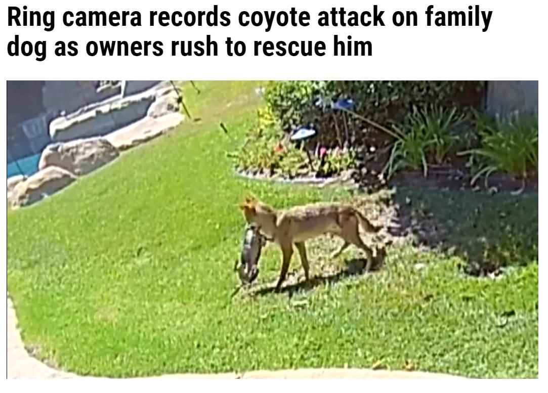 チコの喉元にガブリと噛みつくコヨーテ(画像は『WFLA 2021年10月9日付「Ring camera records coyote attack on family dog as owners rush to rescue him」』のスクリーンショット)