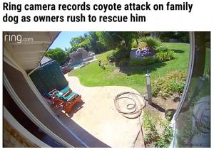 チコをくわえたまま去っていったコヨーテ(画像は『WFLA 2021年10月9日付「Ring camera records coyote attack on family dog as owners rush to rescue him」』のスクリーンショット)
