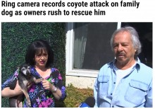 【海外発!Breaking News】庭でコヨーテに襲われたチワワ 飼い主がエアホーンで追い払う(米)<動画あり>
