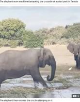 子ゾウに近づいたワニ、怒りに満ちた母ゾウに踏み潰される(ザンビア)<動画あり>