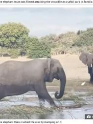 【海外発!Breaking News】子ゾウに近づいたワニ、怒りに満ちた母ゾウに踏み潰される(ザンビア)<動画あり>