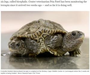 今のところよく食べて動き回っており、問題なく過ごしているという(画像は『USA TODAY 2021年10月10日付「Twice as nice: Two-headed diamondback terrapin hatchlings with six legs in Massachusetts」(Steve Heaslip/ Cape Cod Times)』のスクリーンショット)