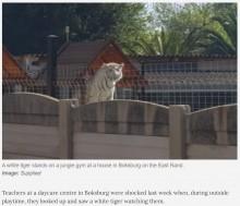 【海外発!Breaking News】保育園の庭を見つめるホワイトタイガー 隣人の巨大なペットに園や保護者も困惑(南ア)