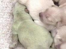 【速報】仰天ニュース、緑色の仔犬が生まれた!
