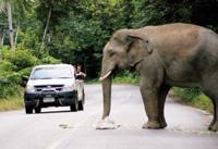【アジア発!Breaking News】性格が変化!?道路に出現する象たち(タイ)